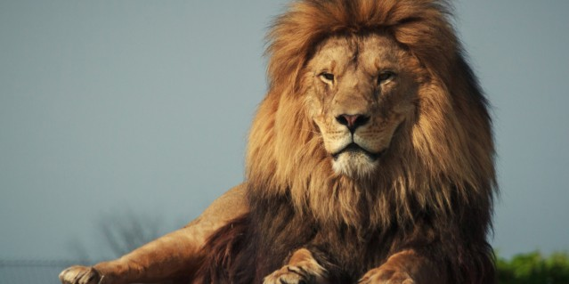 african-lion-2