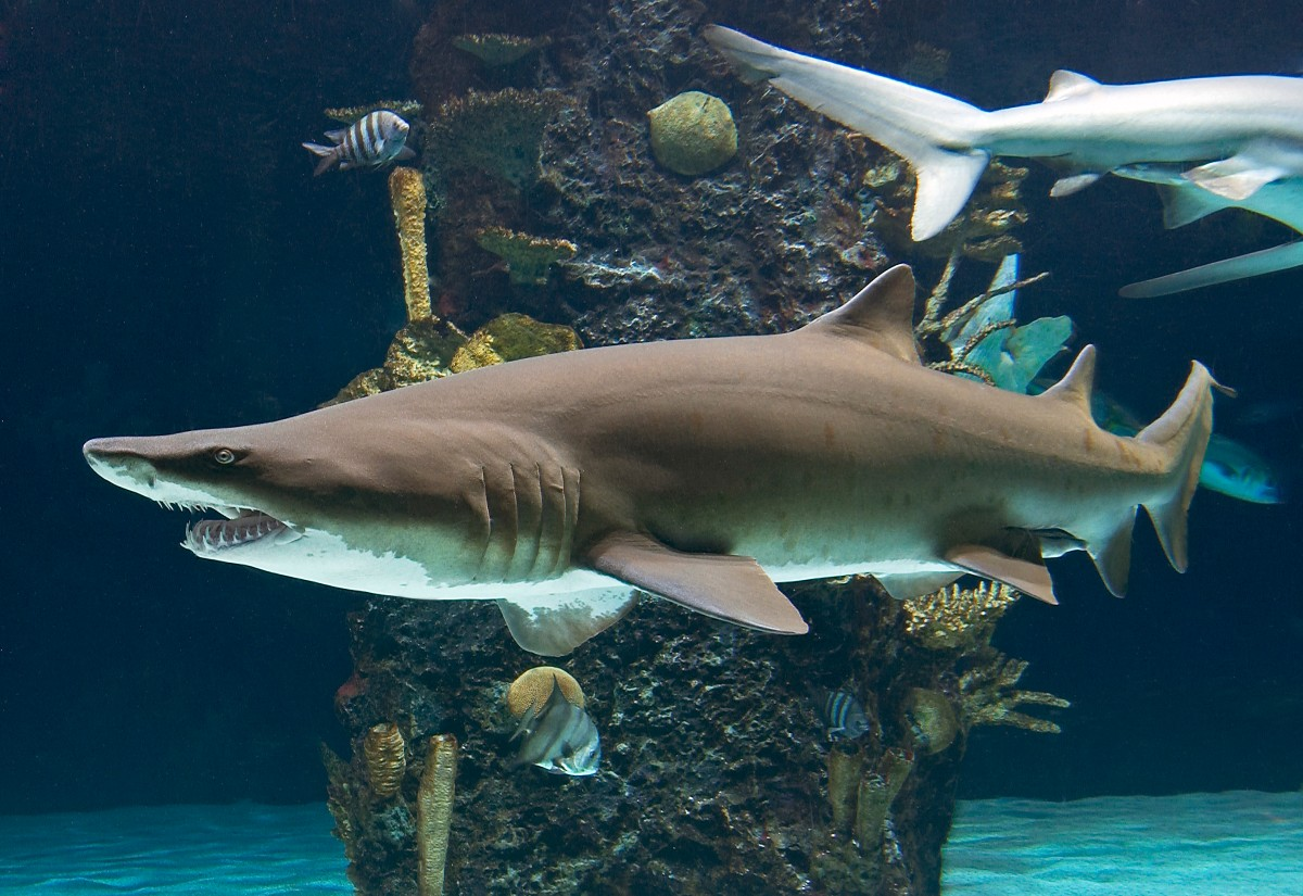 Surprising Social Networks of Sharks Revealed