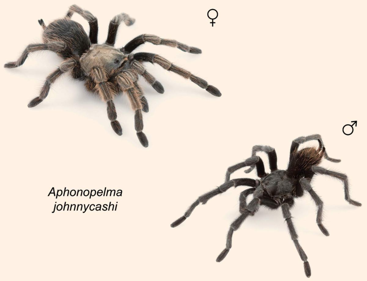 Aphonopelma johnnycashi: New Tarantula Species Named After Johnny Cash