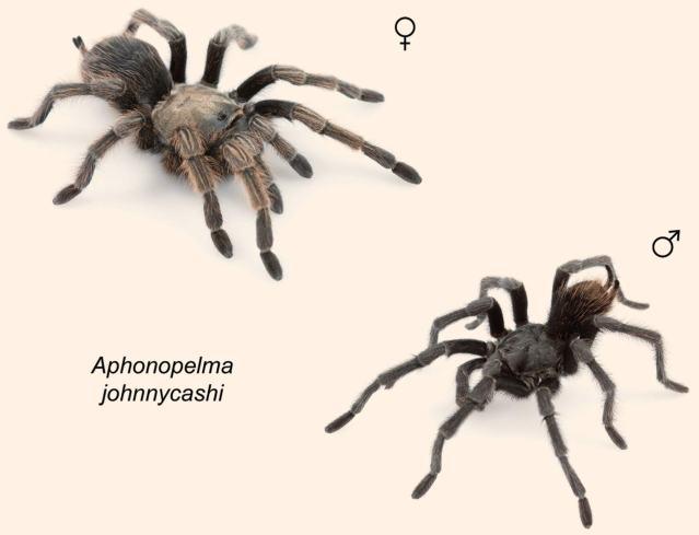 tarantula-Aphonopelma-johnnycashi